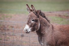 Alert Donkey Royalty Free Stock Photo