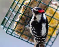 Alert downy woodpecker. The downy woodpecker (Dryobates pubescens) is a common guest at backyard suet feeders.  They are at home in open woodlands, but royalty free stock photos
