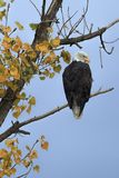 Alert eagle on a tree branch. stock image