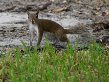 Alert Eastern Grey Squirrel on Ground Stock Image