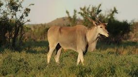 Alert eland antelope stock video