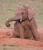 Alert Elephant in a Dirt Furrow Stock Photography