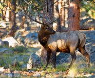 Alert Elk. Bull elk in the rutting season looking for companionship. Additional format available Royalty Free Stock Photos
