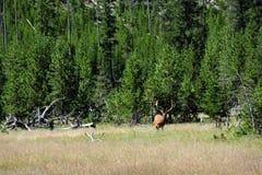 Alert Elk Royalty Free Stock Photography