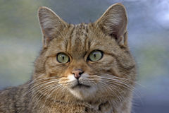 Alert european Wildcat Royalty Free Stock Image