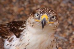 Alert falcon Royalty Free Stock Photo
