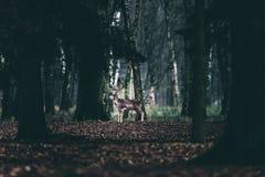 Alert fallow deer standing between trees of forest. Royalty Free Stock Photos
