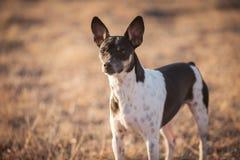 Alert Farm Dog
