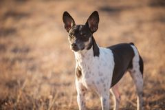 Alert farm dog. Alert Rat Terrier dog outside on a Kansas farm with a natural background stock image
