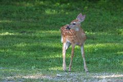 An Alert Fawn Stands on the Green. An alert fawn stands on green grass while looking to its right. Its white spots stand out in contrast to the yellowish-brown stock image