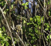 Alert female American Redstart. Perched in beach shrub Stock Images