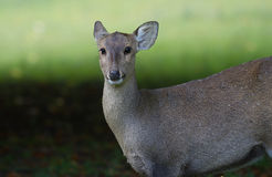 An alert female deer Royalty Free Stock Photo