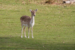 An alert Female Fallow deer Royalty Free Stock Photography