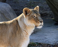 Alert female lion Royalty Free Stock Photo