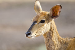 Alert female Nyala Royalty Free Stock Photography