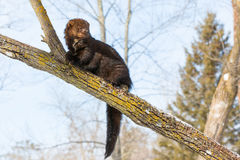 Alert fisher in tree. During sunlight stock image