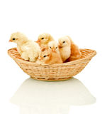 Alert fluffy chickens in a basket Stock Images