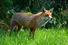 Alert fox. An alert fox in woodland Royalty Free Stock Photography