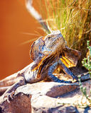 Alert Frilled Lizard On Rock Stock Photos