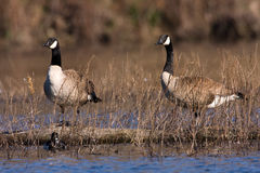 Alert Geese Stock Photography