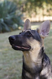 Alert German Pinscher. Head portrait of an alert adult German Pinscher with eyes raised watching something off screen to the left Stock Photo