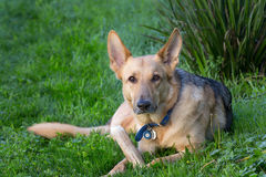 Alert German Shepard Relaxing Royalty Free Stock Photography