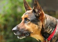 Alert German Shepherd Stock Photos