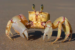 Alert ghost crab. (Ocypode ryderi) on the beach, South Africa Stock Image