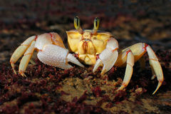 Alert ghost crab Stock Photos