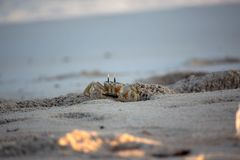 Alert ghost crab on sands Royalty Free Stock Photography