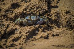 Alert ghost crab on sands Stock Image