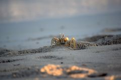 Alert ghost crab on sands Stock Photo