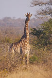 Alert giraffe in thorny bushveld. A giraffe stands alert in thorny bushveld in the late afternoon sunshine royalty free stock photography