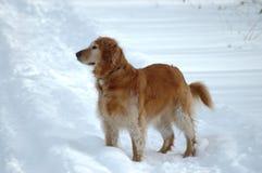 Alert Golden Retriever. Golden retriever in the snow Royalty Free Stock Image