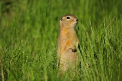 Alert gopher. A wary gopher looking to the right royalty free stock photography
