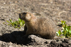 Alert gopher Royalty Free Stock Photography