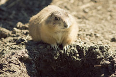Alert gopher Royalty Free Stock Photos