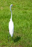 Alert great egret or white heron looking right Stock Images