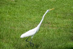 Alert great egret or white heron walking right Stock Image