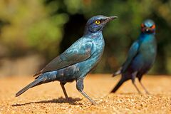 Free Alert Greater Blue-eared Starlings - Kruger National Park Stock Photography - 176351672
