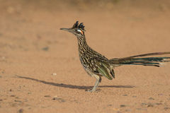 Alert Greater Roadrunner Stock Images
