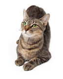 Alert green eyed cat laying Royalty Free Stock Photography