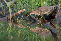 Alert Green Heron prepares to pounce on fish Stock Images