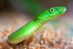 Alert green mamba Stock Photo