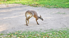 Alert grey kangaroo Royalty Free Stock Photography