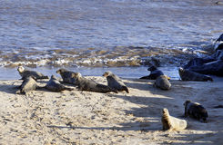 Alert Grey Seals in England. Alert  Grey Seals congregated on the beach in the breeding colony at Horsey, Norfolk, England Royalty Free Stock Image