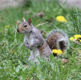 Alert Grey Squirrel Royalty Free Stock Photos