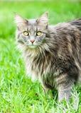 Alert Grey Tabby Cat Stock Photos