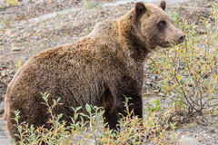 Alert Grizzly Bear Stock Photo