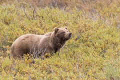 Grizzly Bear on Alert Royalty Free Stock Photo